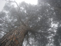Grandes pinos envueltos