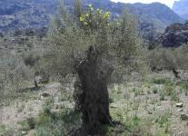 Higera germinada en olivo