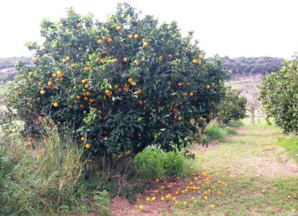 buen naranjo