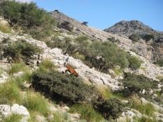 equilibrio de la cabra encima del arbusto