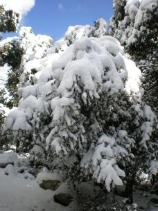 Árboles cubiertos por la nieve