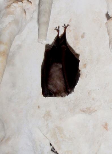 murciélago dormitando, no molestar