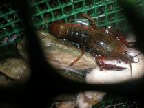 un cangrejo de río americano
