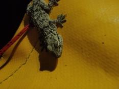 Salamandra en Pou de sa Columna