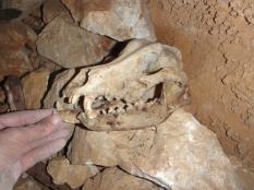 cráneo de can