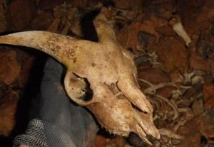 cráneo cabra