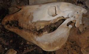 cráneo mula
