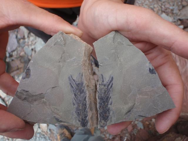 el fósil de una hoja
