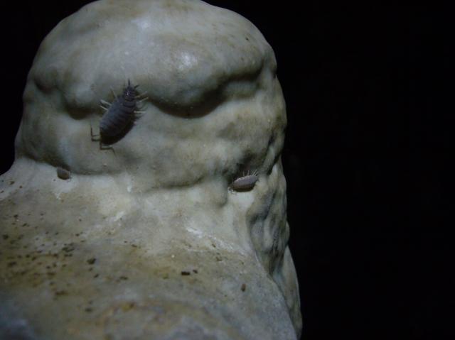 cova des coloms, Génova
